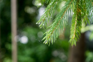 Water drops on the pine branch. Slovakia