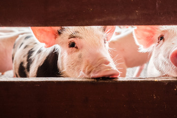 A curious pig sniffs a red fence