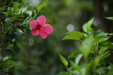 Pink Hibiscus Flower on a Branch - Background