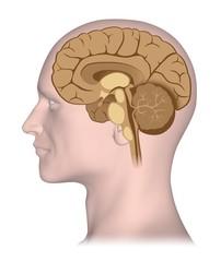Human brain in median cross section