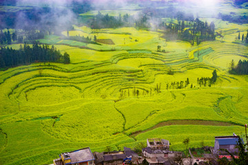 Canola field on plantation spiral with morning fog in Luoping, China.