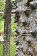 Closeup of the thorns of a silk floss tree