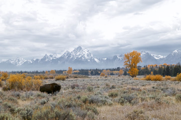 A lone bison (Bison bison) with the Tetons in the background