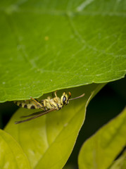Yellow and black wasp wandering on a leaf