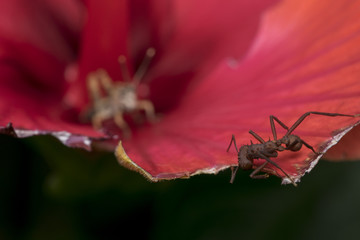 Ant eating a red flower