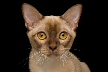 Portrait of Chocolate Burmese Young Cat isolated on black background, front view