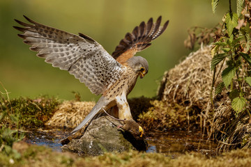 Common Kestrel hunting little mouse, Falco tinnunculus, little mice of prey, green grassland, europe.