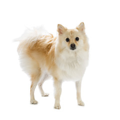 Full length image of a pomeranian dog isolated on white background.