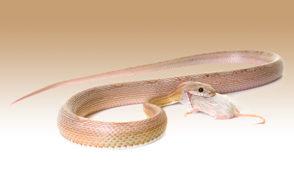 corn snake eating mouse