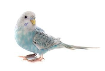 common pet parakeet Fotomurales