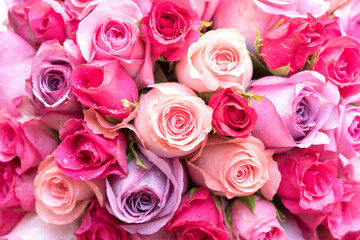 beautiful pink and red roses background,close up.
