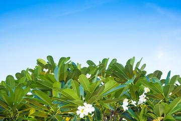 Plumeria tree (frangipani)