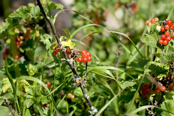 Red currant bushes. Currant. Berries. Small fruit