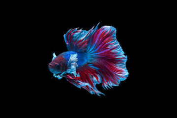Siamese fighting fish isolated on black background,Halfmoon betta.Siamese fighting fish isolated on black background,Halfmoon betta..