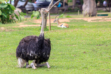 Ostrich is sitting and looking something with copy space on the right.