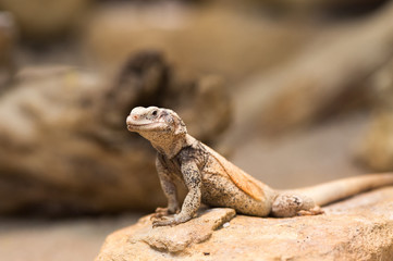 Chuckwalla lizard on rock
