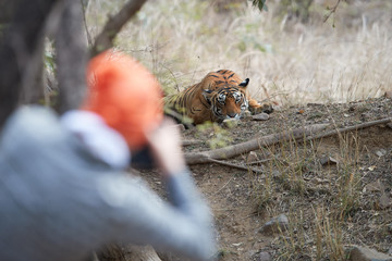 Traveller is photographing bengal tiger, Panthera tigris, wild tigress  in dry forest of Ranthambore  national park, Rajasthan, India.  Wildlife photography in India.