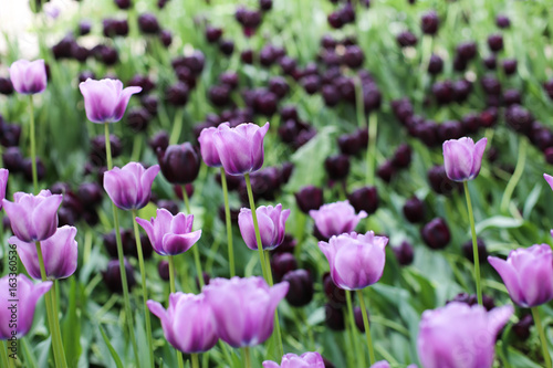 violet and dark purple tulips stock photo and royalty free images