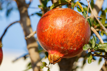 Ripe red pomegranate