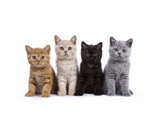 Row of four British Shorthair cats / kittens sitting isolated on white background facing camera