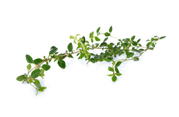 twig of fresh thyme on white background