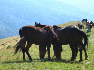 Wild horses eating