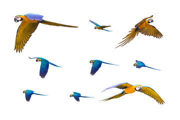 Colourful flying parrots isolated on white