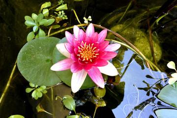 Ninfa.. planta acuatica.. lilia de agua