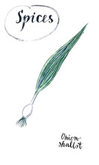 Young fresh spring green onion with green leaves (sometimes called shallots or scallions) in watercolor