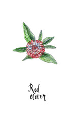 Single flower of red clover in watercolor