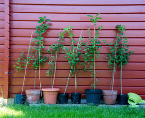 Small apple trees saplings in flower pots in front of a red wall