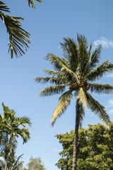 coconut palm on blue sky background