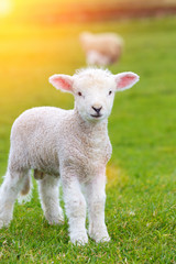 Small cute lamb gambolling in a meadow in a farm
