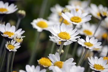 Wild daisy flowers