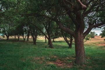 Evening summer forest landscape park with fruit trees.