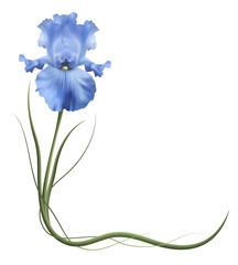 Изысканные цветы, голубые ирисы. Символ дружбы и верности. Уголок.