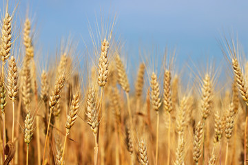 Spikes of golden ripe wheat on a blue sky background. Golden winter wheat field in sunlight closeup, shallow depth of field. Agriculture, agronomy and farming background. Harvest concept.