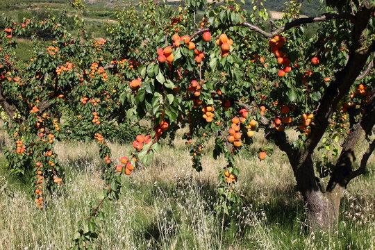 Abricots de la Drôme France