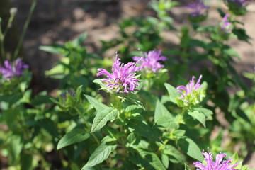 Monarda didyma flower closeup .Medicinal plants, herbs in the garden.