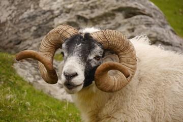 Scottish Blackface, Isle of Lewis