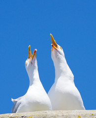 Two seagulls squawking loudly