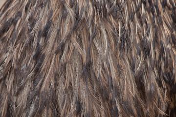 Emu (Dromaius novaehollandiae). Plumage texture