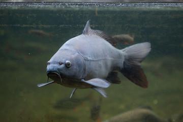 Mirror carp (Cyprinus carpio carpio)