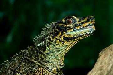 Philippine sailfin lizard, crested lizard, sail-fin lizard, sailfin water lizard, soa-soa water lizard (Hydrosaurus pustulatus)