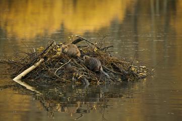 American Beaver (Castor canadensis)