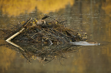 American Beaver (Castor canadensis) pair working on lodge in the fall, Grand Teton NP, Wyoming, USA