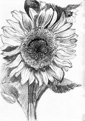 sunflower hand drawn sketch