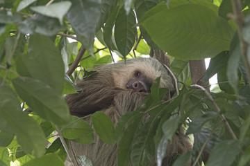 Sleeping Sloth in a Rainforest Tree