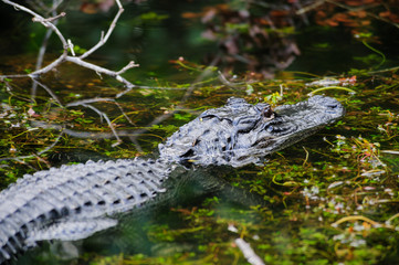 Alligator in the Swamps