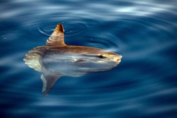 Sunfish underwater while eating jellyfish